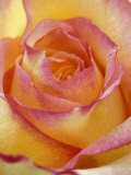 Close-up of Yellow and Orange Rose Fotografie-Druck von Adam Jones