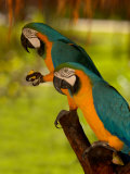 Two Blue and Gold Macaws Photographie par Lisa S. Engelbrecht
