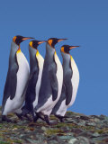 King Penguins in a Mating Ritual March, South Georgia Island Photographic Print by Charles Sleicher