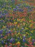 Paintbrush, Bluebonnets, and Bladderpod, Texas, USA Photographic Print by Adam Jones