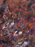 Will Ptarmigan Forage for Blueberries, Denali National Park, Alaska, USA Photographie par Hugh Rose