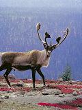 Woodland Caribou on a Ridge During Fall Migration, Quebec, Canada Reprodukcja zdjęcia autor Charles Sleicher