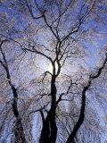 Backlit Tree and Blossoms in Spring, Lexington, Kentucky, USA Photographic Print by Adam Jones