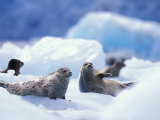 South Sawyer Glacier Harbor Seals on Icebergs, Tracy Arm, Inside Passage, Alaska, USA Photographic Print by Paul Souders