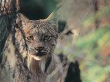 Lynx in Denali National Park, Alaska, USA Fotodruck von Dee Ann Pederson