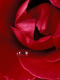 Red Rose, American Beauty, with Tear Drop, Rochester, Michigan, USA Fotografie-Druck von Claudia Adams