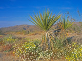 Desert Pincushion and Dandelion, Joshua Tree National Park, California, USA Photographic Print by Rob Tilley