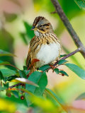 Lincoln's Sparrow, Melospiza lincolnii Photographie par Adam Jones