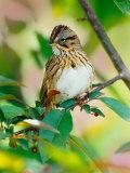 Lincoln's Sparrow, Melospiza lincolnii Photographie par Adam Jones