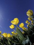 Tulips, Cincinatti, Ohio, USA Photographic Print by Adam Jones