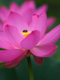 Perry's Water Garden, Lotus Blossom and Bee, Franklin, North Carolina, USA Photographic Print by Joanne Wells