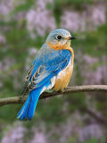 Female Eastern Bluebird Photographic Print by Adam Jones