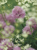 Chives and Carraway, Louisville, Kentucky, USA Photographic Print by Adam Jones