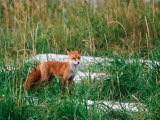 Red Fox, Alaska Peninsula, Alaska, USA Photographic Print by Dee Ann Pederson