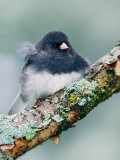 Dark-eyed Junco Photographic Print by Adam Jones