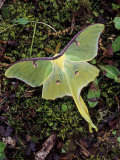 Male Luna Moth Photographic Print by Adam Jones