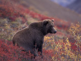 Female Grizzly Bear in Alpine Tundra, Denali National Park, Alaska, USA Photographic Print by Hugh Rose