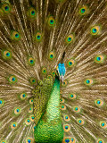 Peacock Displaying Feathers Photographic Print by Lisa S. Engelbrecht