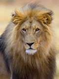 Male Lion at Africat Project, Namibia Fotografisk trykk av Joe Restuccia III