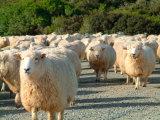 Sheep Herd, New Zealand Photographie par William Sutton