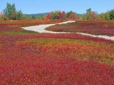 Blueberry Barrens, Maine, USA Photographic Print by Julie Eggers