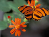 Acraea at Butterfly World, Florida, USA Photographic Print by Michele Westmorland