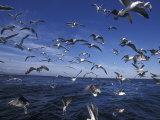 Kelp Gulls, South Africa Photographie par Stuart Westmoreland