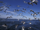 Kelp Gulls, South Africa Photographic Print by Stuart Westmoreland