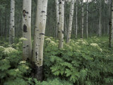 Adam Jones - Cow Parsnip in Aspen Grove, White River National Forest, Colorado, USA - Fotografik Baskı