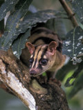 Banded Palm Civet, Malaysia Photographic Print by Gavriel Jecan