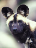 Wild Dog Photographic Print by Adam Jones