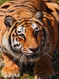 Bengal Tiger Photographic Print by Adam Jones