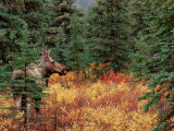 Female Moose in Denali National Park, Alaska, USA Fotografisk tryk af Dee Ann Pederson