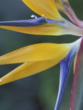 Bird of Paradise, Hana, Maui, Hawaii, USA Photographic Print by John & Lisa Merrill