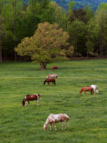 Horses Grazing in Meadow, Cades Cove, Great Smoky Mountains National Park, Tennessee, USA Photographic Print by Adam Jones
