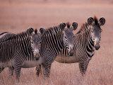 Grevy's Zebra, Masai Mara, Kenya Fotografie-Druck von Dee Ann Pederson