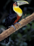 Red Bellied Toucan, Iguasuu Falls, Brazil Photographic Print by Darrell Gulin