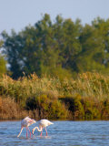 Greater Flamingos in Marsh, Camargue, France Photographic Print by Lisa S. Engelbrecht