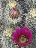 Flowering Hedgehog Cactus, Saguaro National Park, Arizona, USA Photographie par Jamie &amp; Judy Wild
