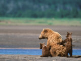 Brown Bear Sow with Cubs, Alaska Peninsula, Katmai National Park, Alaska, USA Photographic Print by Dee Ann Pederson