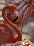 Pink Flamingo in Ardastra Gardens and Zoo, Bahamas, Caribbean Photographic Print by Greg Johnston