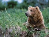 Male Brown Bear, Alaska Peninsula, Katmai National Park, Alaska, USA Fotografie-Druck von Dee Ann Pederson