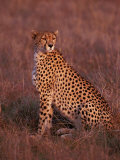 Cheetah, Masai Mara, Kenya Photographic Print by Dee Ann Pederson