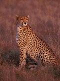 Cheetah, Masai Mara, Kenya Photographic Print by Dee Ann Pederson