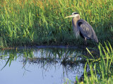 Great Blue Heron in Taylor Slough, Everglades, Florida, USA Photographic Print by Adam Jones