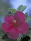 Hibiscus, Maui, Hawaii, USA Photographic Print by Darrell Gulin