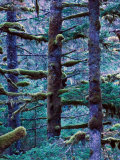 Pacifc Fir Trees and Moss, Fort Abercrombie State Historical Park, Kodiak Island, Alaska, USA Lámina fotográfica por Walter Bibikow