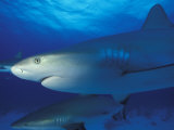 Caribbean Reef Shark, Bahamas Photographic Print by Michele Westmorland