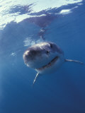 Underwater View of a Great White Shark, South Africa Photographic Print by Michele Westmorland