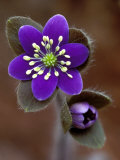 Hepatica and Bud, Lapeer, Michigan, USA Photographic Print by Claudia Adams